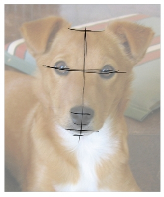 how to draw a proportionate dog face